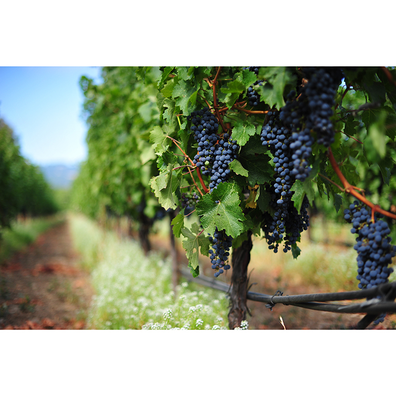Grapes and Juices for Winemaking at Presque Isle Wine Cellars: Cabernet Sauvignon