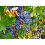 Fresh Grape Juice and Grapes for Home and Commercial Winemaking- PA, NY, OH
