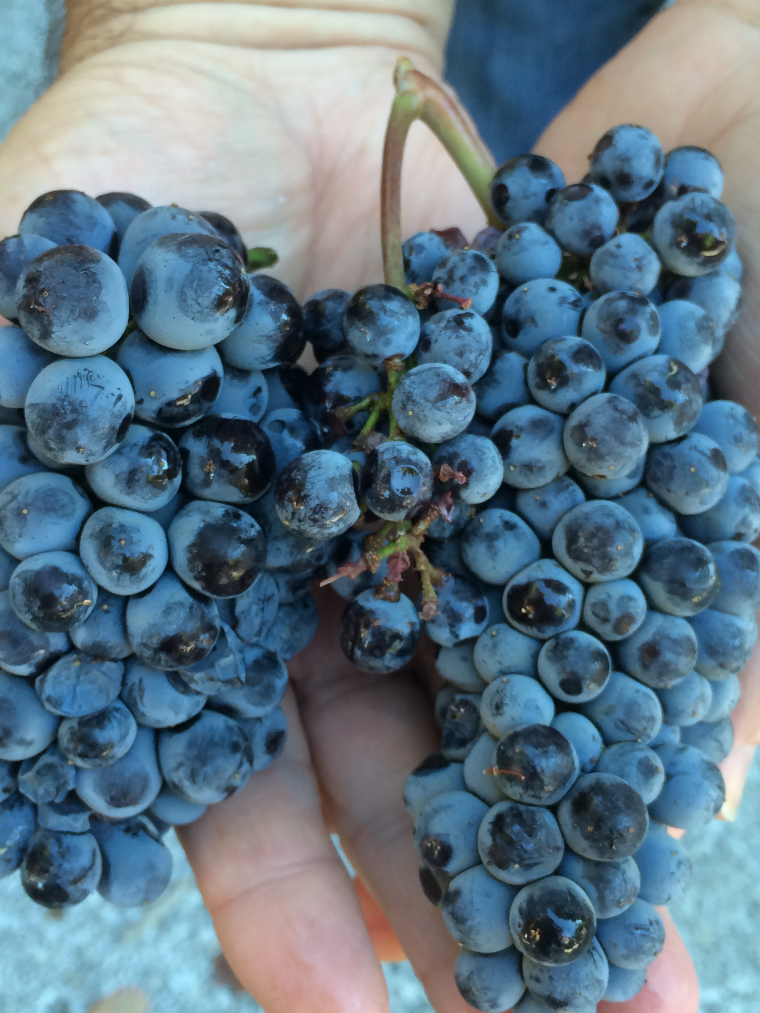 2016-grape-harvest.jpg
