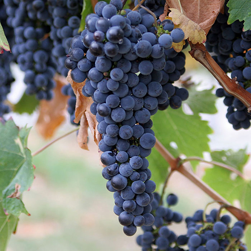 Barolo Grapes and Juice for Wine making