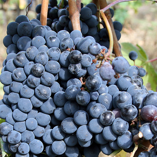 recipe: corrado wine grapes [19]
