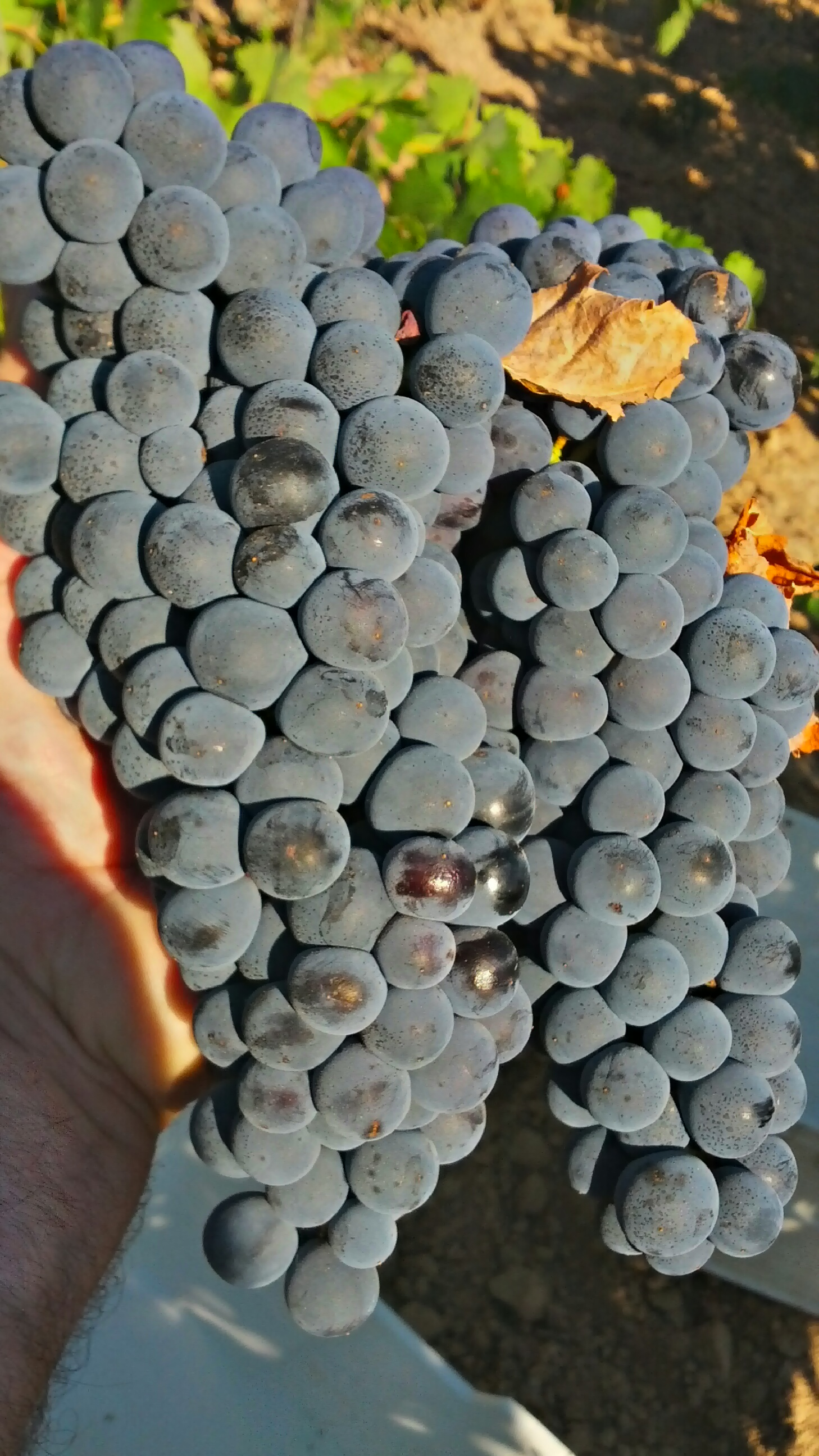 Spanish Grapes for Wine Making Must