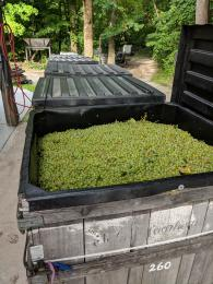 2018 Cayuga Grapes from Lake Erie Region