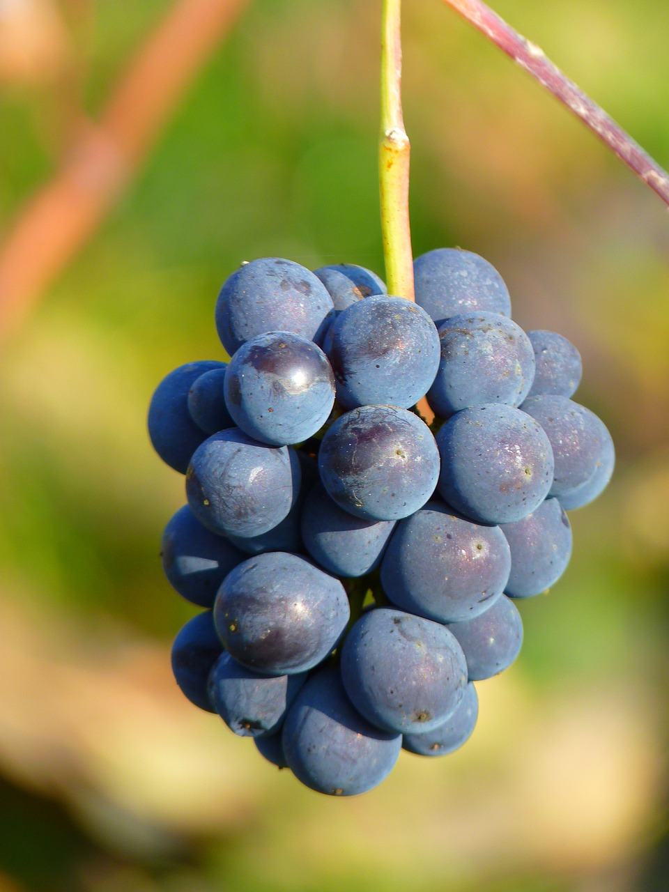 winemaking-grapes.jpg